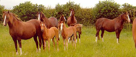 Welsh Section B mares and foals at Rotherwood