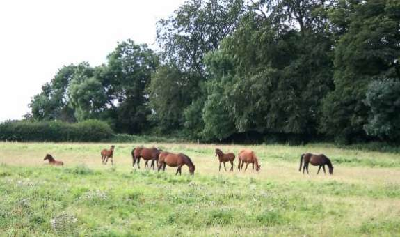 Riding Pony Mares and Foals at Rotherwood